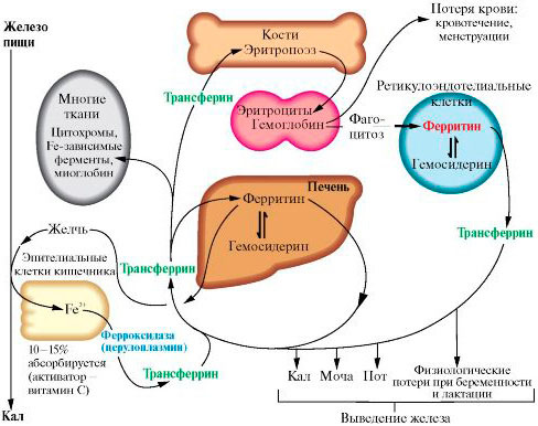 Общая информация об обмене и роли ферритинина в организме