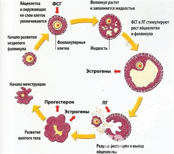 За что отвечает фолликулостимулирующий гормо в организме женщины