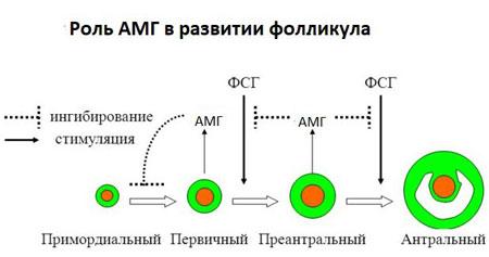 Антимюллеров гормон показывает наличие антральных фолликулов в яичниках