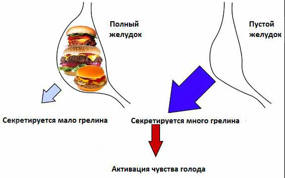 Основная функция грелина – это возбуждения аппетита