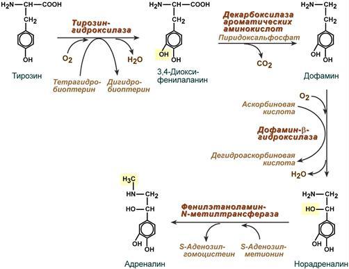 Механизм выработки гормонов катехоламинов
