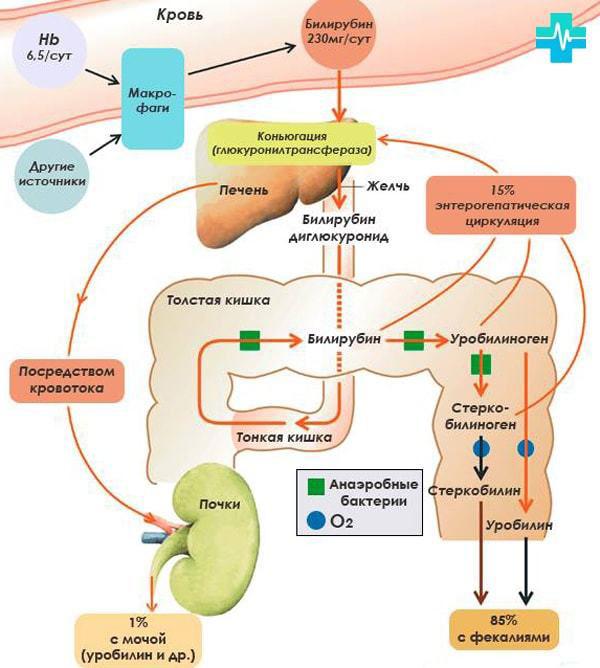 Обмен билирубина в организме и его выход в виде стеркобилина с калом