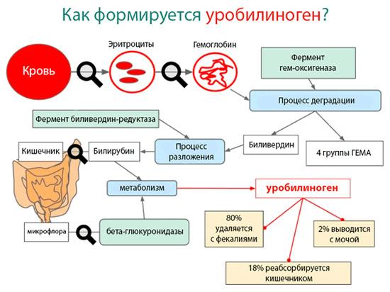 Как образуется в организме и выводится уробилиноген