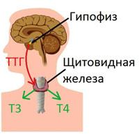 Что за гормон трийодтиронин свободный (Т3 свободный) и за что отвечает в организме человека