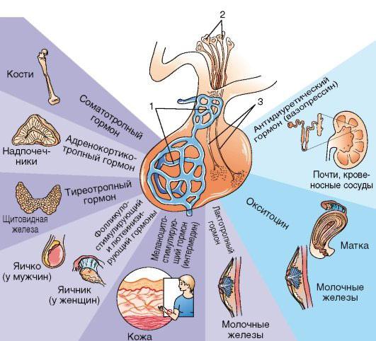 Гормоны гипофиза и их действие на организм