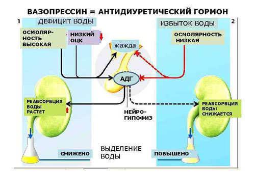 При снижении осмолярности антидиуретический гормон увлчивается