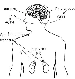 Роль кортизола в организме человека и каким органом он вырабатывается