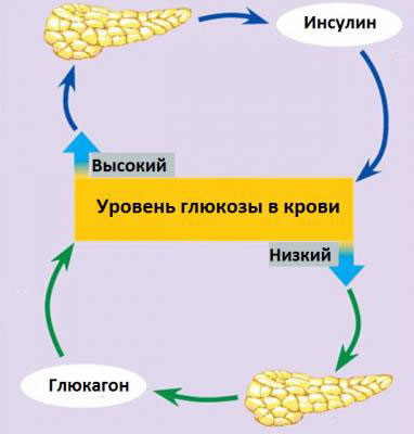 Функции глюкагона в организме человека и влияние на уровень глюкозы в крови