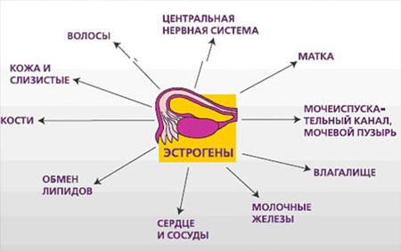 Влияние эстрогенов на женский организм