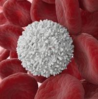 лейкоциты фото