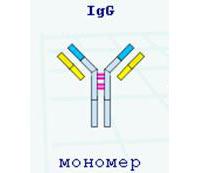 Что такое иммуноглобулин g и его значение для организма