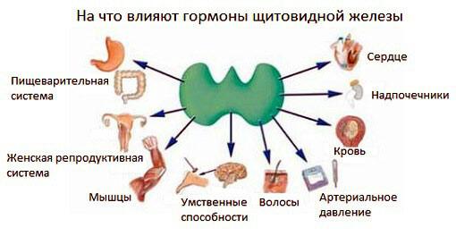 Влияние гормонов щитовидной железы на работу органов