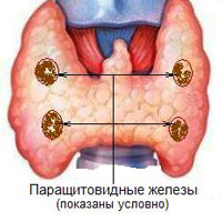Паратгормон синтезируется паращитовидными железами