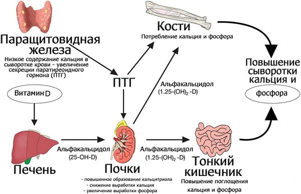 На что влияет паратгормон в организме