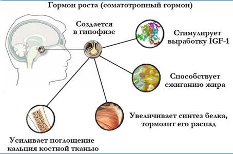 Соматотропный гормон (СТГ) вырабатывается в гипофизе человека