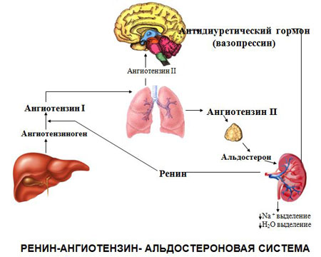 Какова функция ренина в организме