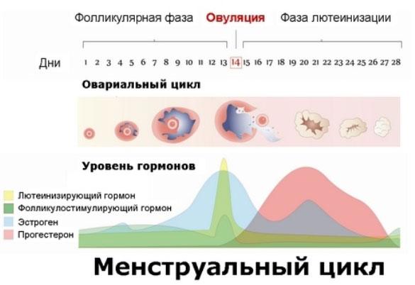 Как изменяется уровень женских гормонов во время цикла