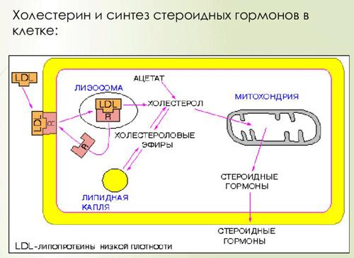 Как синтезируются стероидные гормоны в клетке