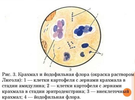 Внеклеточный и внутриклеточный крахмал